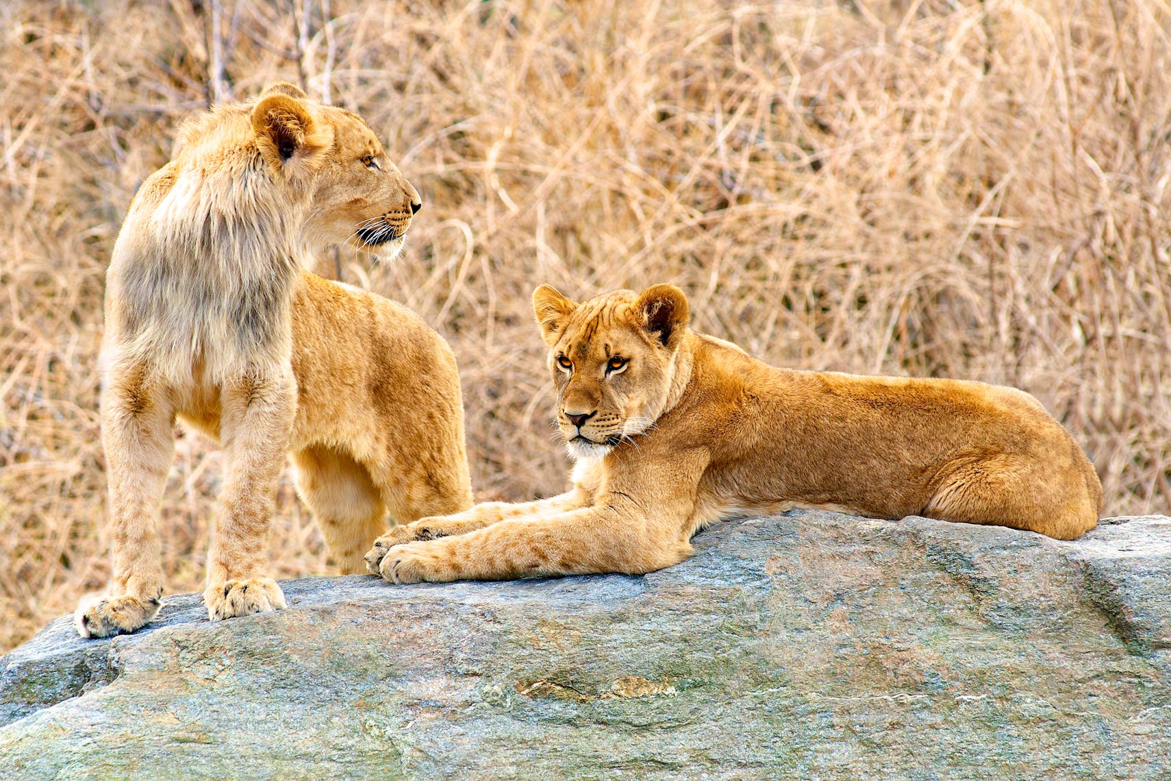 ^ african lions