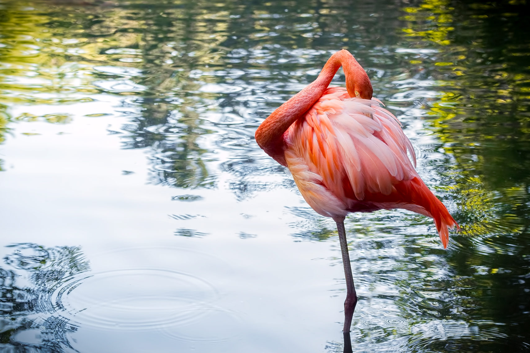 ^ chilean flamingo